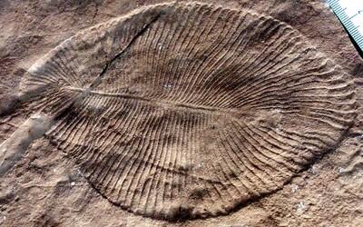 Nejstarší zvíře na světě se jmenuje Dickinsonia. Měřilo 1,4 metru a žilo před 558 miliony lety