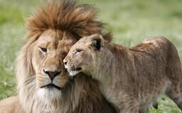Nerozlučná dvojice. Lví pár byl na sebe tak navázán, že je raději utratili obou najednou