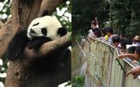 Nespokojní turisti hádzali kamene po spiacej pande, lebo ju chceli zobudiť. Od rezervácie hneď dostali doživotný zákaz vstupu