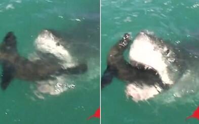 Neuveriteľný moment, keď obrovský žralok takmer prehltol celého tuleňa. Príroda vie byť občas skutočne nemilosrdná