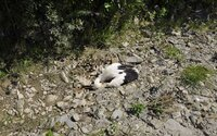 Niekto ukameňoval bociana na smrť. Polícia rozbehla vyšetrovanie, páchateľovi hrozia 2 roky vo väzení
