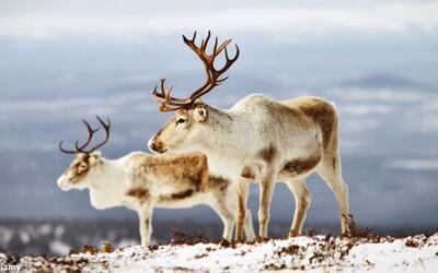 Nórsko nechá utratiť až 2 200 sobov. Voľne žijúce zvieratá trpia veľmi nebezpečnou chorobou
