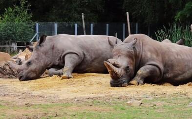 Nosorožcom v českej ZOO odpília rohy. Chcú ich tam ochrániť pred pytliakmi, ktorí zabíjajú aj v zoologických záhradách