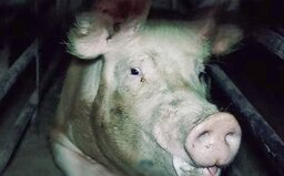 Nové video z českých velkochovů ukazuje ztrápená zvířata přežívající v hrozných podmínkách