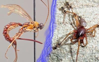 Novoobjavená osa loví pavúky, zabíja ich a kladie do nich vajíčka. Potomstvo svojho hostiteľa zožerie
