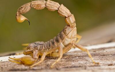 Novou drogou je kouření škorpióna. Člověk však musí přežít prvních šest hodin