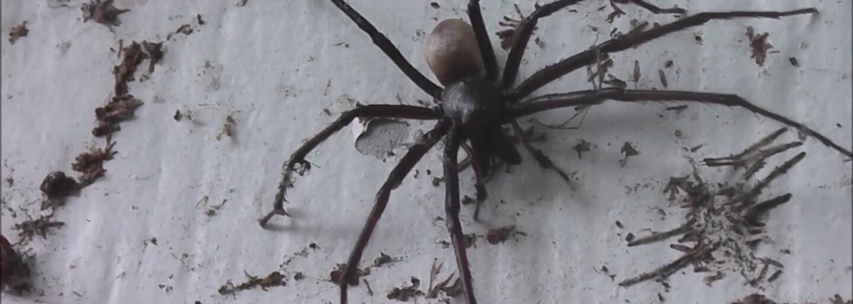 Novozélandský farmář při čištění domu narazil na největšího pavouka, jakého kdy viděl. Nemohl uvěřit tomu, na co se dívá