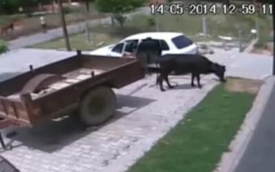 Obeťou dokonalého zločinu, ktorý trval menej ako 60 sekúnd, sa stala nevinná krava