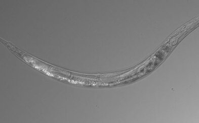 Vědci objevili červa se třemi pohlavími na místě, kde nežijí téměř žádné organismy