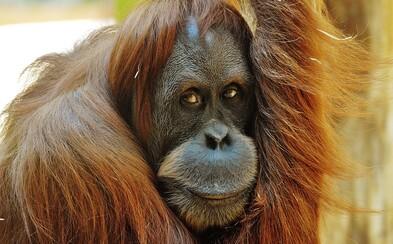 Objavili nový druh orangutana. V izolácii žil tisícky rokov, teraz je ohrozený