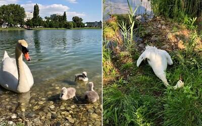 Obľúbená labuť v bratislavskom jazere sa zadusila plastom a zomrela. Jej čerstvo vyliahnuté mláďatá prišli o mamu
