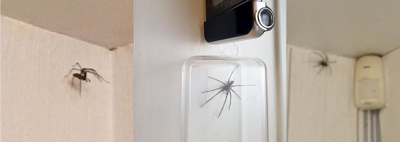 Obrovské pavúky v britských domoch sú tak veľké, že spúšťajú alarm proti zlodejom