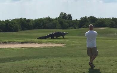 Obrovský aligátor sa vydal na prechádzku po floridskom golfovom ihrisku. Vo veľkosti môže konkurovať aj rekordérovi