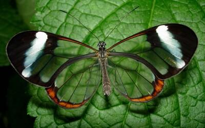 Ohromující fotogalerie motýlů, kteří vypadají, jako by byli ze skla