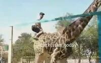 Opilý muž přelezl ohradu v ZOO a zajel si na žirafě. Zvíře se po chvíli naštvalo a shodilo ho na zem