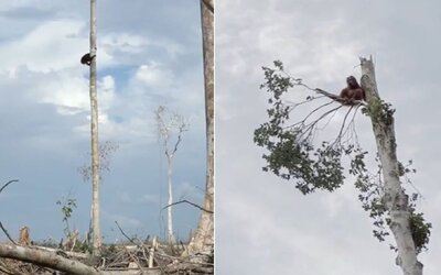 Orangutan prišiel kvôli ľuďom o svoj domov. Emotívna scéna z dokumentu od Netflixu dojíma divákov k slzám
