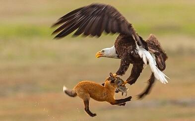 Orol ukradol líške úlovok. Súboj o raňajky prebiehal niekoľko metrov nad zemou