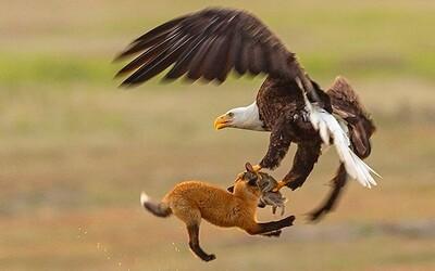 Orel ukradl lišce úlovek. Souboj o svačinu probíhal několik metrů nad zemí