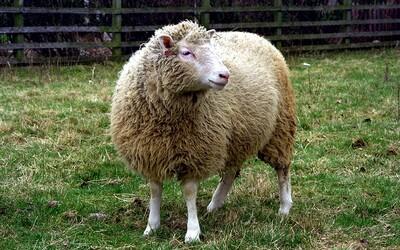 Ovce Dolly - první naklonované zvíře změnilo pohled na moderní genetiku a vyvolalo četné diskuse