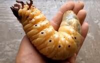 Ozrutná larva, ktorá sa nezmestí do ľudskej dlane. Takto rastie jeden z najväčších chrobákov na svete