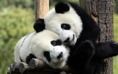 Pandy v pražské zoo nebudou, prezident je nechce