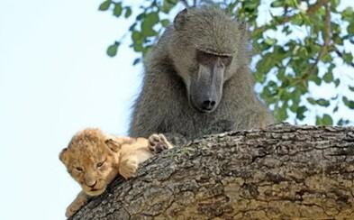 Pavián se staral o malé lvíče, jako kdyby bylo jeho vlastní. Je to obrovská rarita, tvrdí průvodce z parku v Jižní Africe