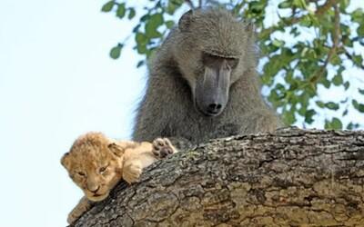 Pavián sa staral o malé levíča, ako keby bolo jeho vlastné. Je to obrovská rarita, tvrdí sprievodca z parku v Južnej Afrike