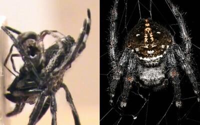 Pavouci pocházející z dalekého Madagaskaru mají rádi orální sex a výjimečný není ani tvrdý kanibalismus