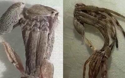 Pavouk svlékající starou kůži vystrašil Australany mimozemským vzhledem. Ze svých 8 noh na chvíli udělal 16