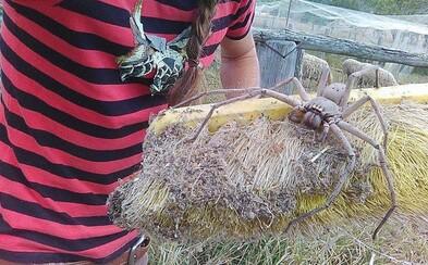 Pavúk vo veľkosti malého psíka. Roztomilá a najmä obrovská Charlotte bola zachránená a vypustená späť do prírody