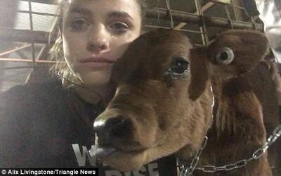 Plačící veganka se vloupala na jatka a přivázala se k teleti, které měli porazit, aby mu zachránila život