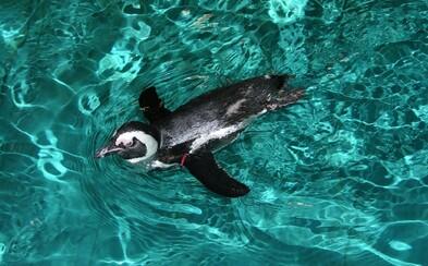 Planéta Zem prichádza o tučniakov okuliarnatých kvôli nepriaznivým klimatickým zmenám