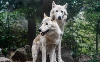 Po brněnské zoo pobíhali vlci, kteří se podhrabali z výběhu