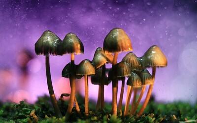 Po marihuaně i houbičky. Kalifornie má možnost drogu dekriminalizovat