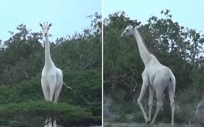 Po našej planéte kráčajú aj biele žirafy! Zaujímavé zvieratá boli v Keni prvýkrát zachytené na kameru