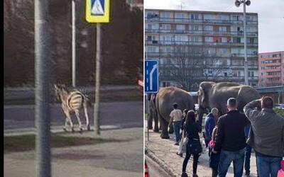 Po Nitre včera pobehovala zebra, po Leviciach dnes slony. Na Slovensku nám vzniklo improvizované safari