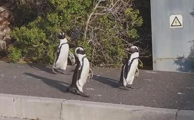 Po prázdných ulicích Kapského Města se procházela skupinka tučňáků. Využili toho, že lidé jsou v domácí karanténě