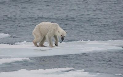 Po ruskej dedine sa potuloval vyhladovaný ľadový medveď, bol 700 kilometrov od svojho prirodzeného prostredia