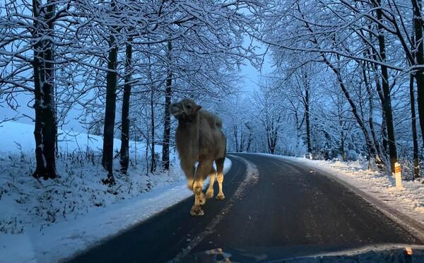 Po silnici v Jizerských horách se promenádoval velbloud, už je zpátky v ohradě