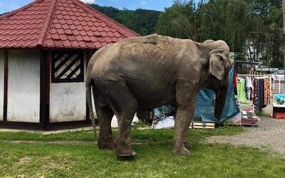 Po Snine sa prechádzala vychudnutá slonica. Je skrotená a zdravá, len je už stará, vysvetľuje manažérka cirkusu