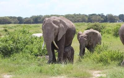 Počet slonov v Keni sa zdvojnásobil. Pre pytliakov už nie sú až tak zaujímavé
