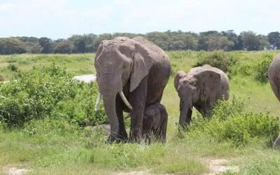 Počet slonů v Keni se zdvojnásobil. Pro pytláky již nejsou až tak zajímaví