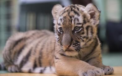 Počet tygrů v Indii se téměř zdvojnásobil, v zemi se nachází 70 % jejich celosvětové populace