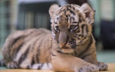 Počet tigrov v Indii sa takmer zdvojnásobil, v krajine sa nachádza 70 % ich celosvetovej populácie