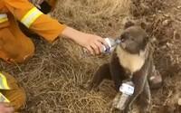 Podívej se, jak hasiči nabídli vodu koale, kterou zachránili před ohněm. Austrálii ohrožuje zhruba 200 požárů