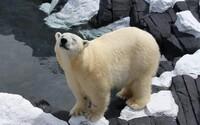 Polárna medvedica zomrela pravdepodobne vinou zoologickej záhrady. Ľudská ignorancia niekedy presahuje všetky hranice