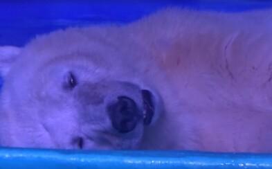 Polárneho medveďa zavreli v obchodnom centre. Súcitiť s ním budeš aj ty
