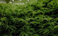Policajti zadržali dosiaľ najväčšie množstvo marihuany v európskej histórii. Farma zaberala plochu veľkú ako 16 futbalových ihrísk