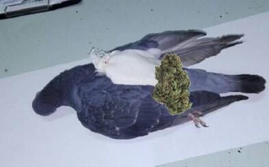 Policisté sestřelili narko holuba s maličkým ruksakem. Obsahoval marihuanu, sedativa i USB flash disk