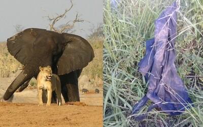 Policajti zverejnili, čo zostalo z pytliaka, ktorého udupal slon a potom zjedli levy